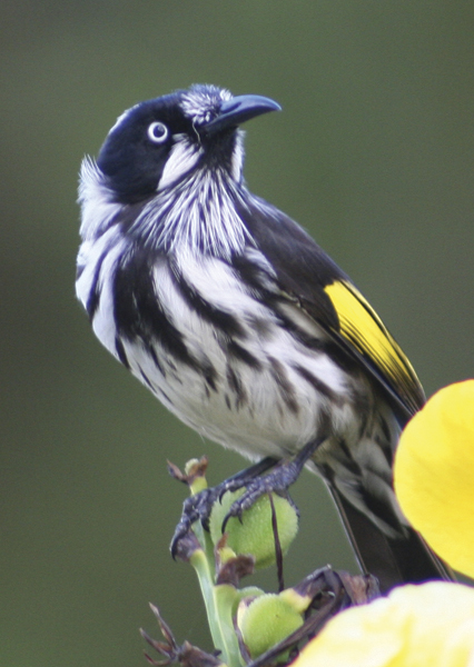 New Holland honeyeater - Photo by Stephen Wan