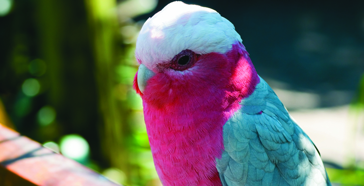 Galah - courtesy Tourism NT